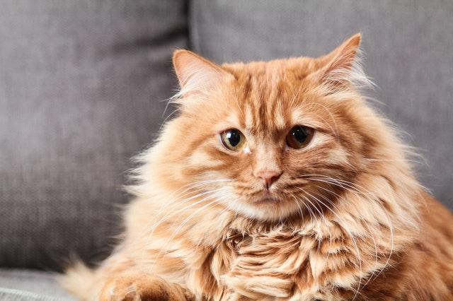 cuanto vive un gato domestico
